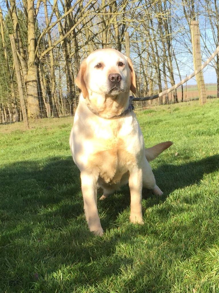 Les Labrador Retriever de l'affixe Des marais de courmont