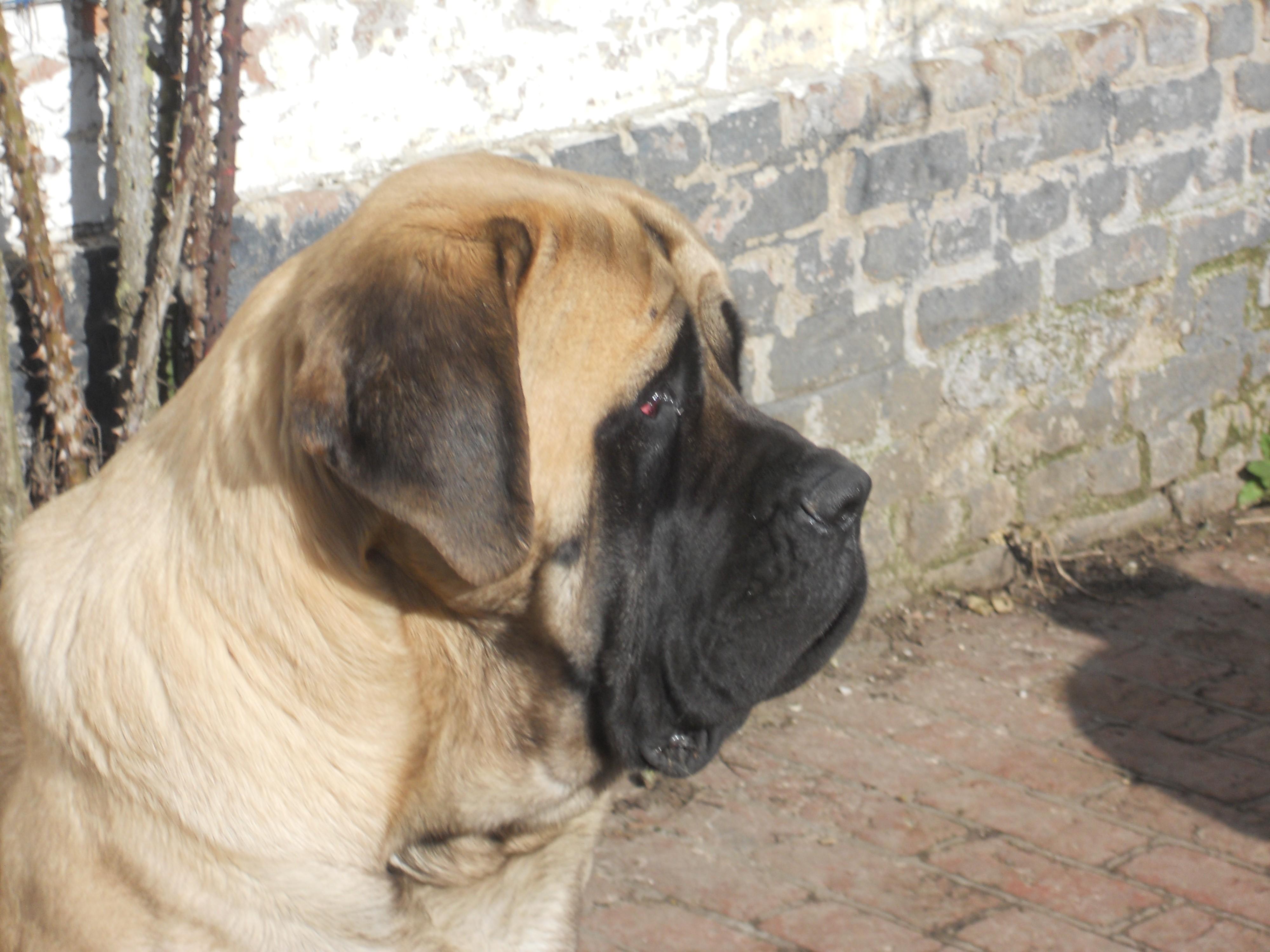 Mastiff - Matronne De la louvagerie