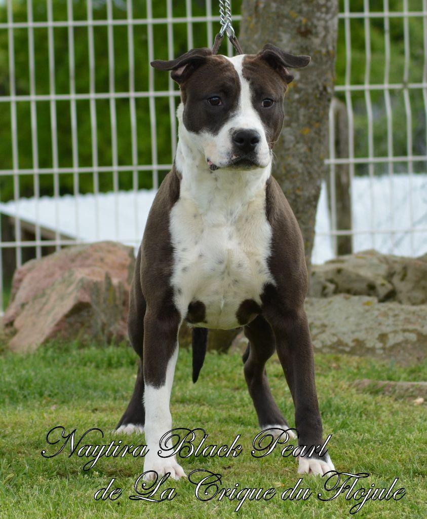 American Staffordshire Terrier - Naytira black pearl De la crique du Flojule