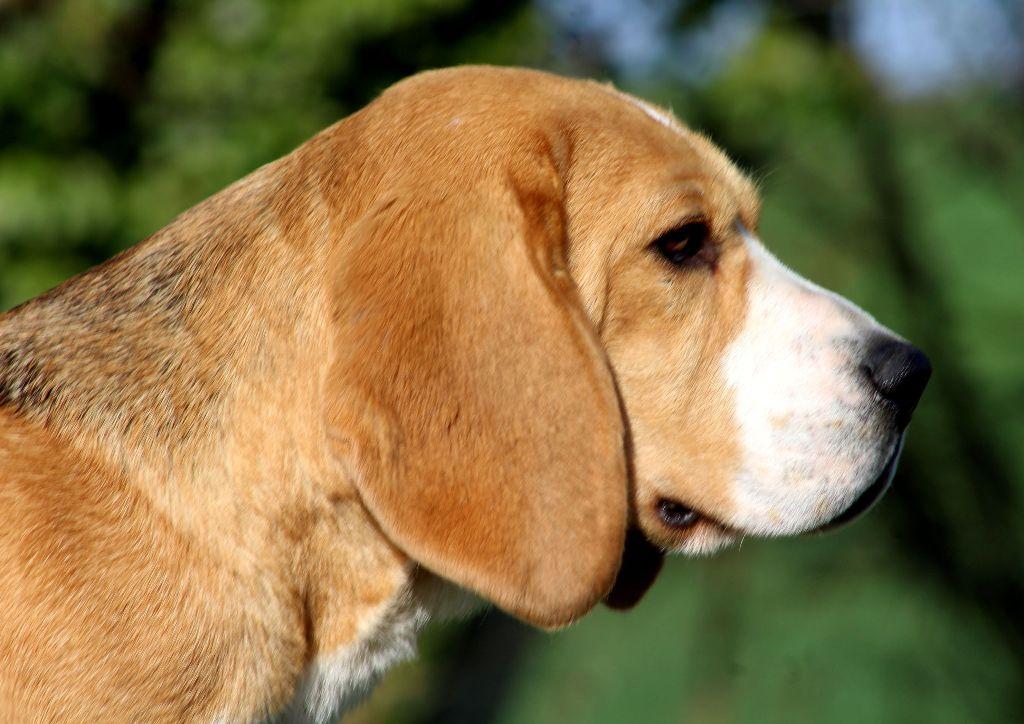 Les Beagle de l'affixe Des Chasseurs Du Temps