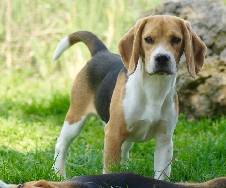 Les Beagle de l'affixe Orikin's