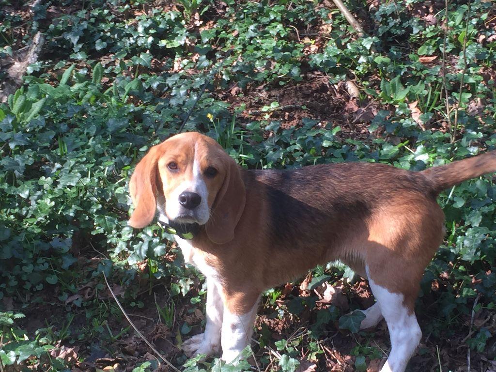 Beagle - Nino de l'arche de Riwan