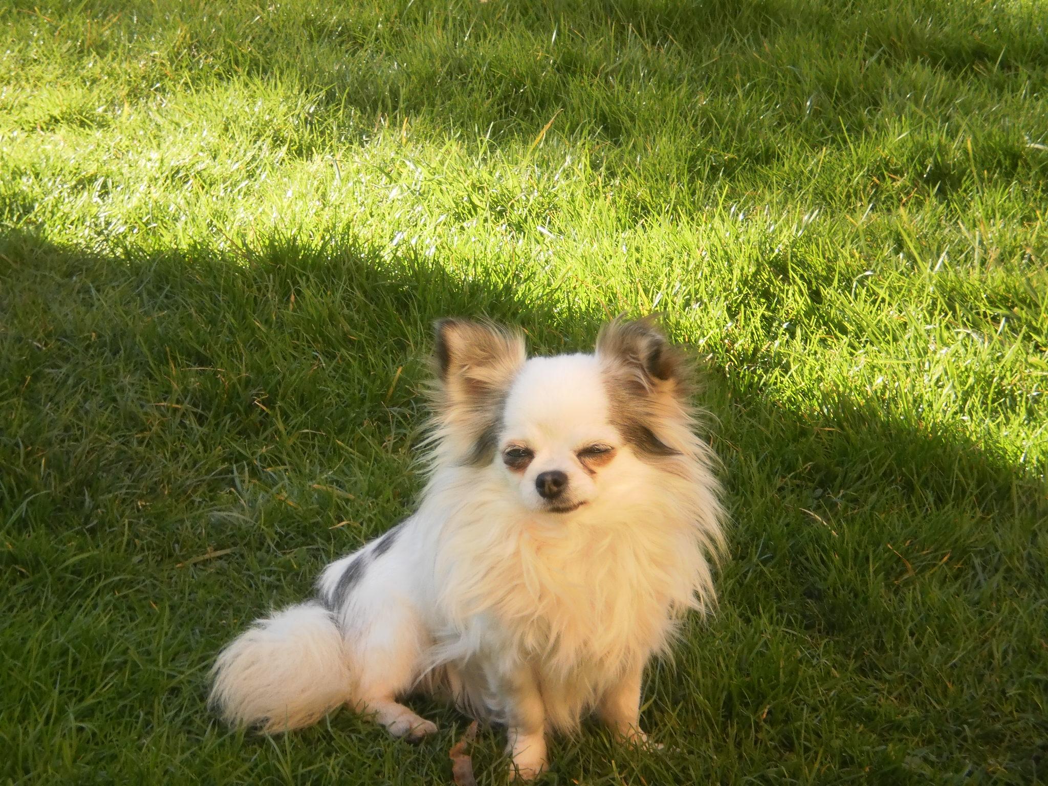 Les Chihuahua de l'affixe Des Edelweiss D'Ossau