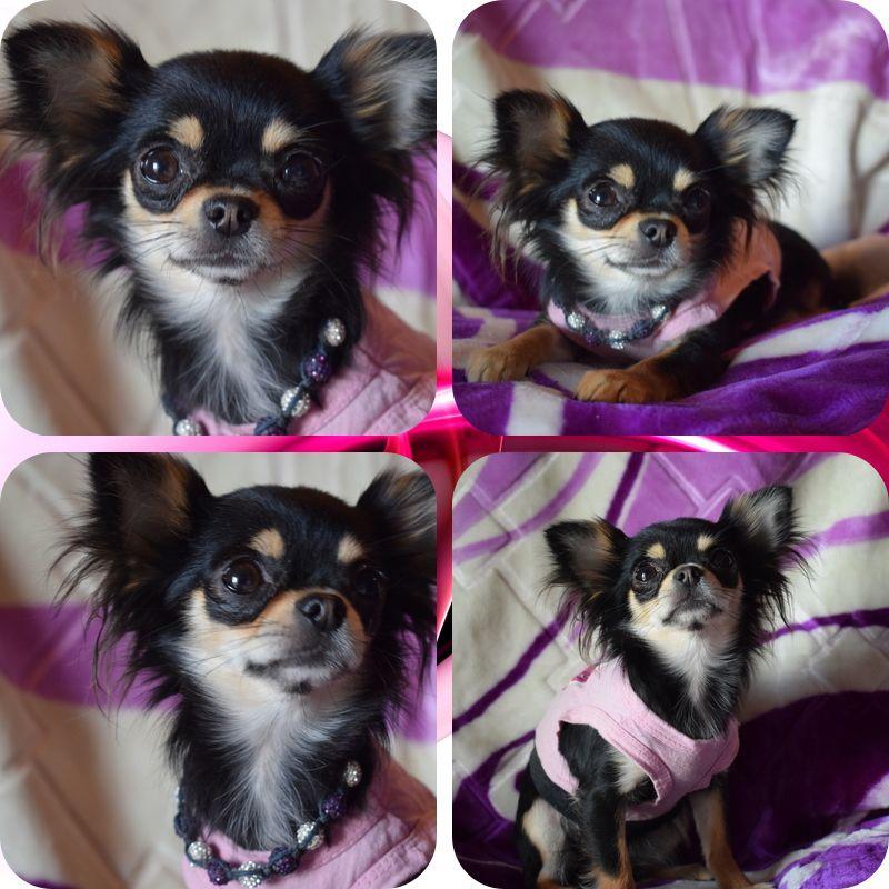 Chihuahua - Naiade Des Myriades Odélys