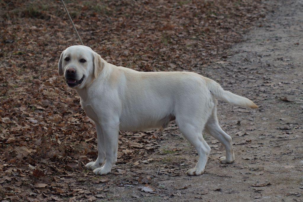 Labrador Retriever - Hoak de l'etang de la vallée
