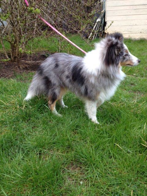 Wendy silver spot Shetland Sheepdog