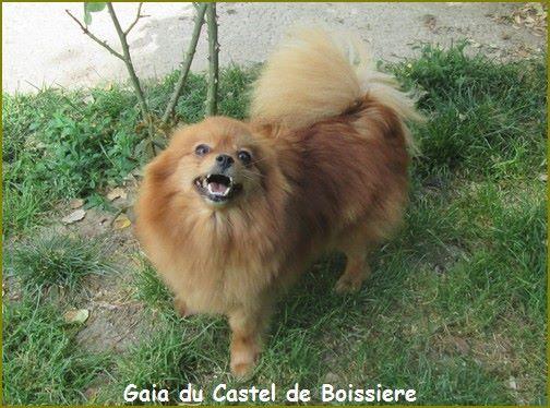Spitz allemand - Gaia du Castel de Boissière