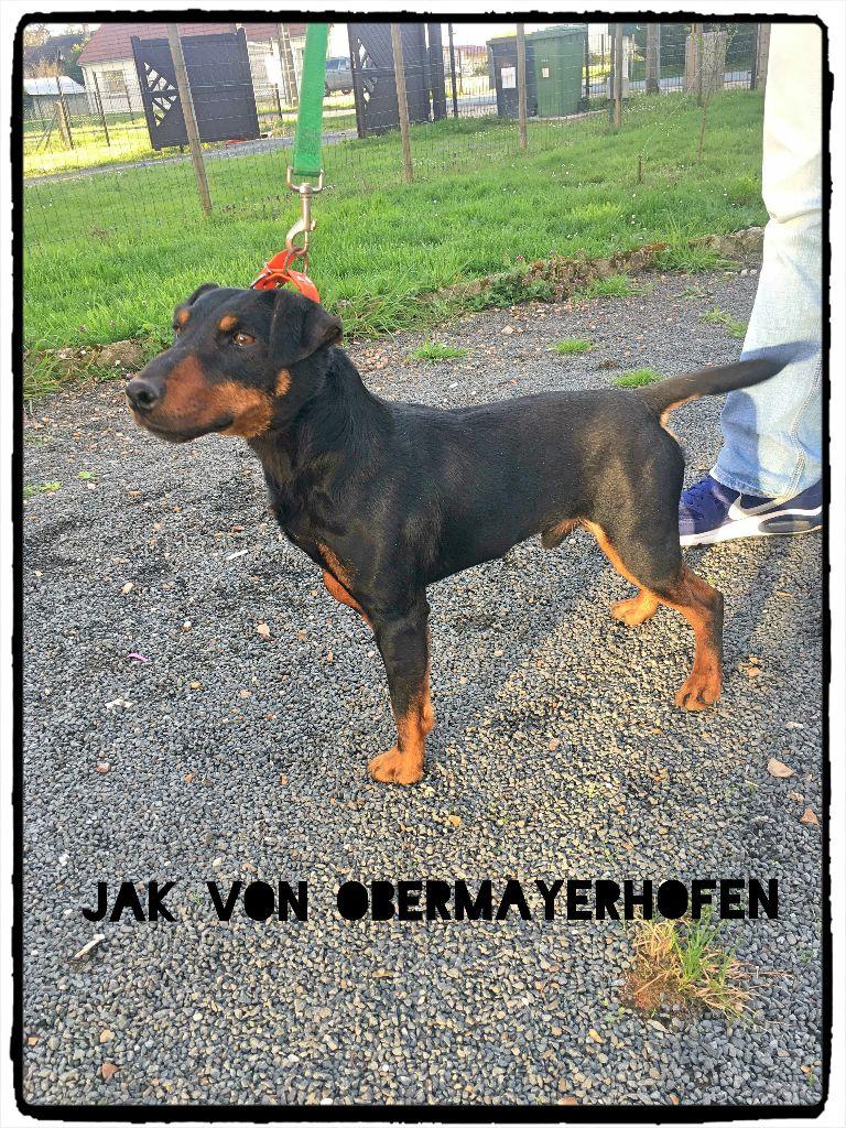 Le Standard de la race Terrier de chasse allemand sur Atara.com
