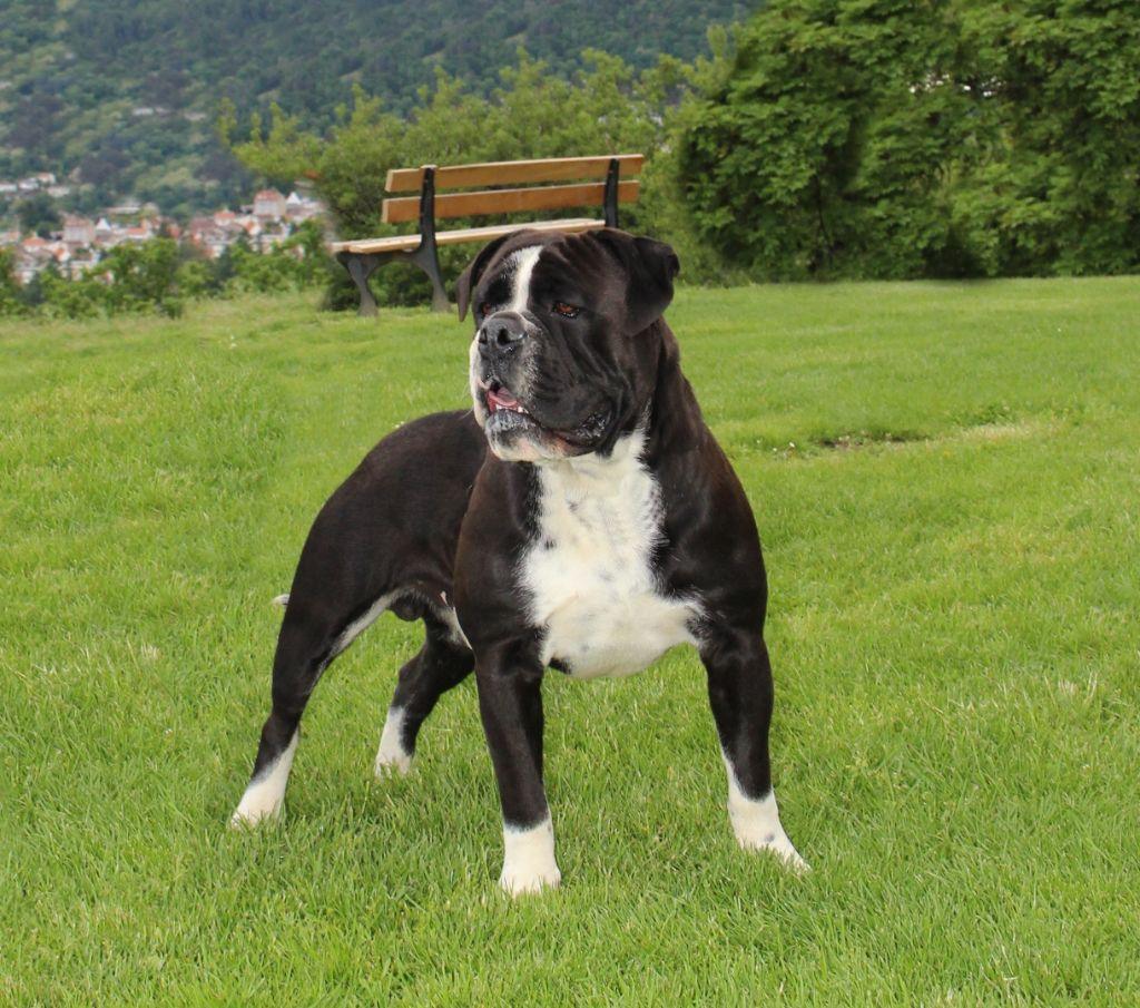 Les Bulldog continental de l'affixe du sixieme sens