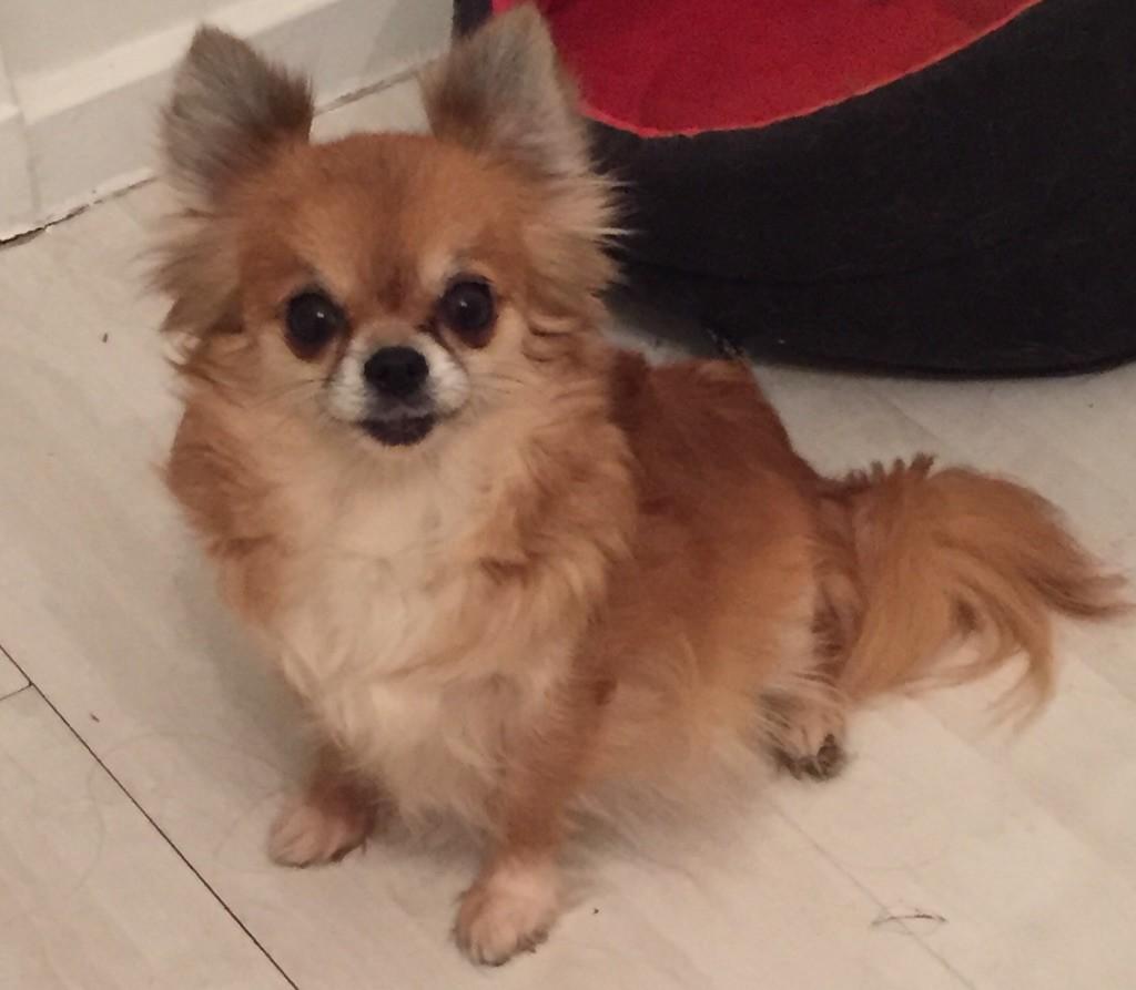 Chihuahua - Glamour Des lianes de mysore