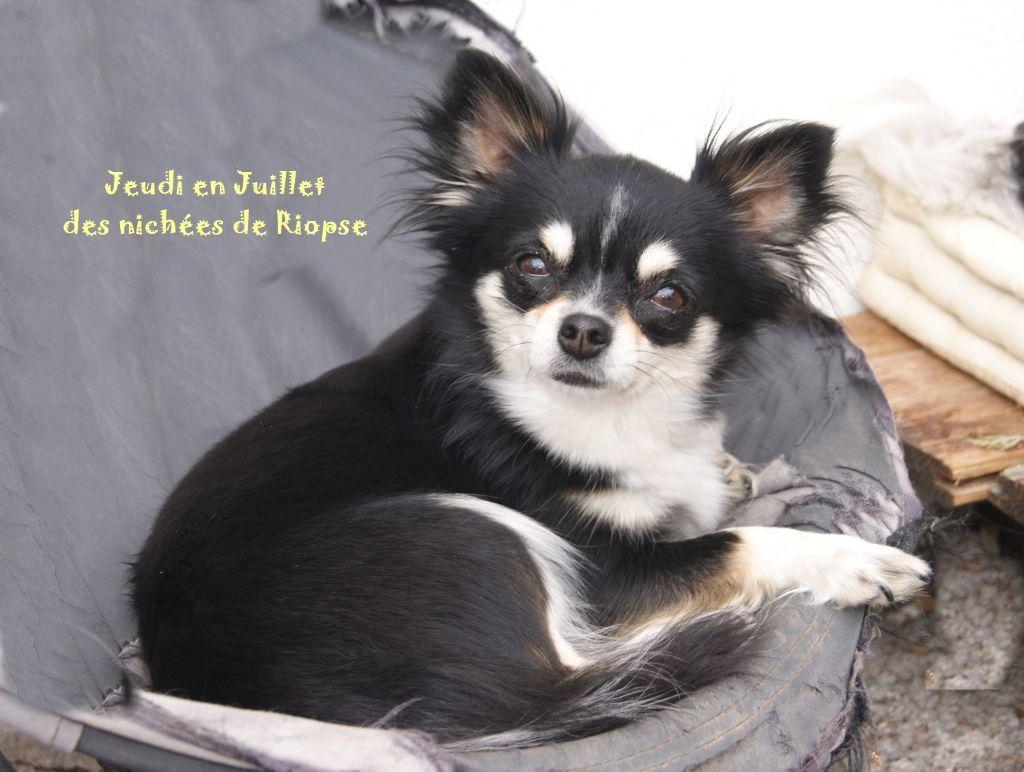 Chihuahua - Jeudi en juillet Des Nichées De Riopse