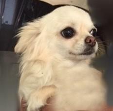 MaËva de La Licorne Des Anges Chihuahua