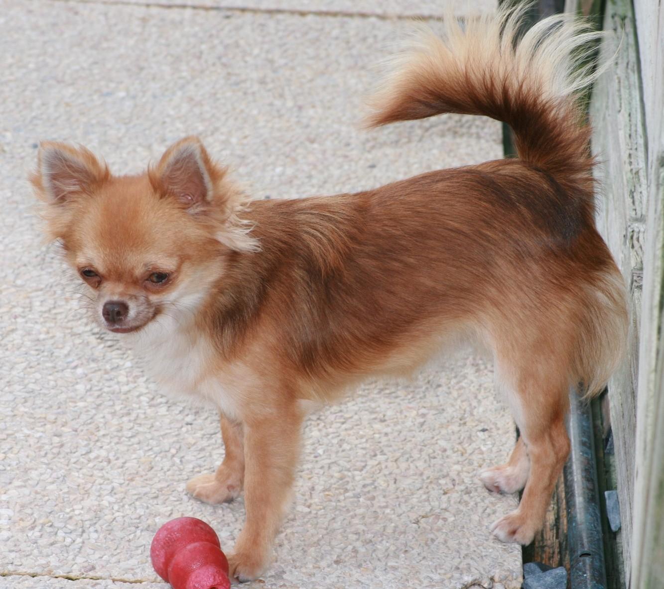 Chihuahua - Mi-choco des lutins malins