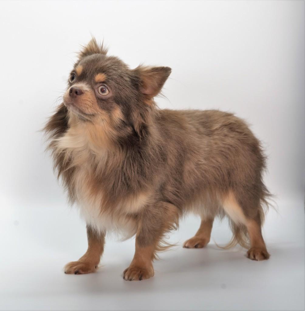 Les Chihuahua de l'affixe Du Royaume D'exquise