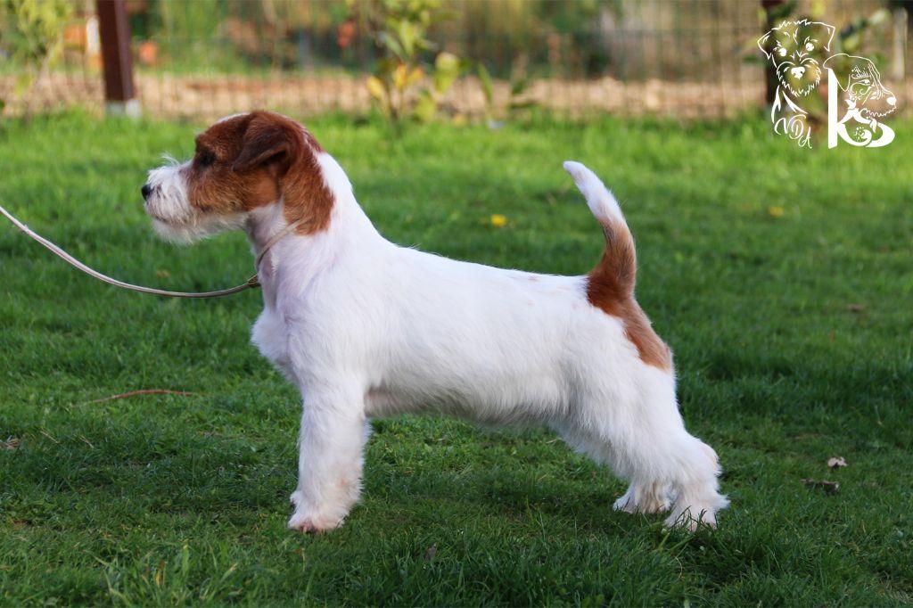 Les Jack Russell Terrier de l'affixe du Vallon de l'Alba