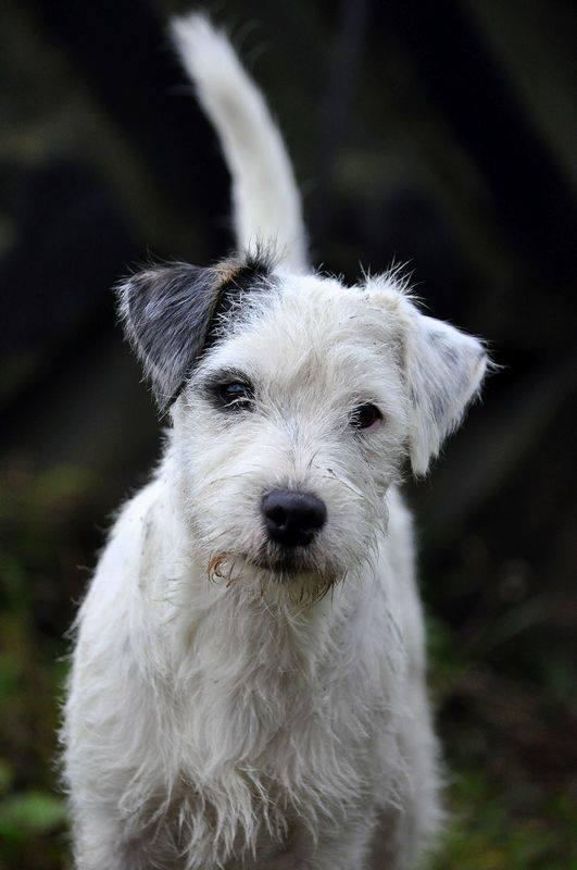 Jaskier mysia zaglada fci Parson Russell Terrier
