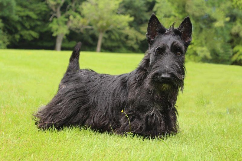 Les Scottish Terrier de l'affixe Walescot- kinloch