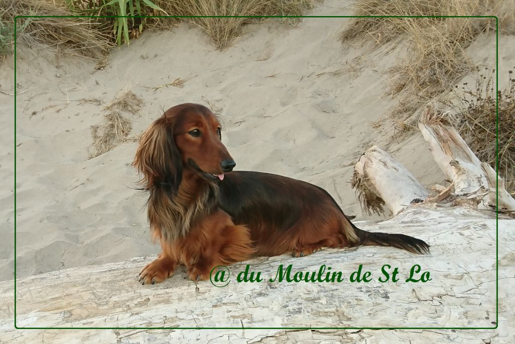 Teckel poil long - Mc arthur Du Moulin De Saint Lo