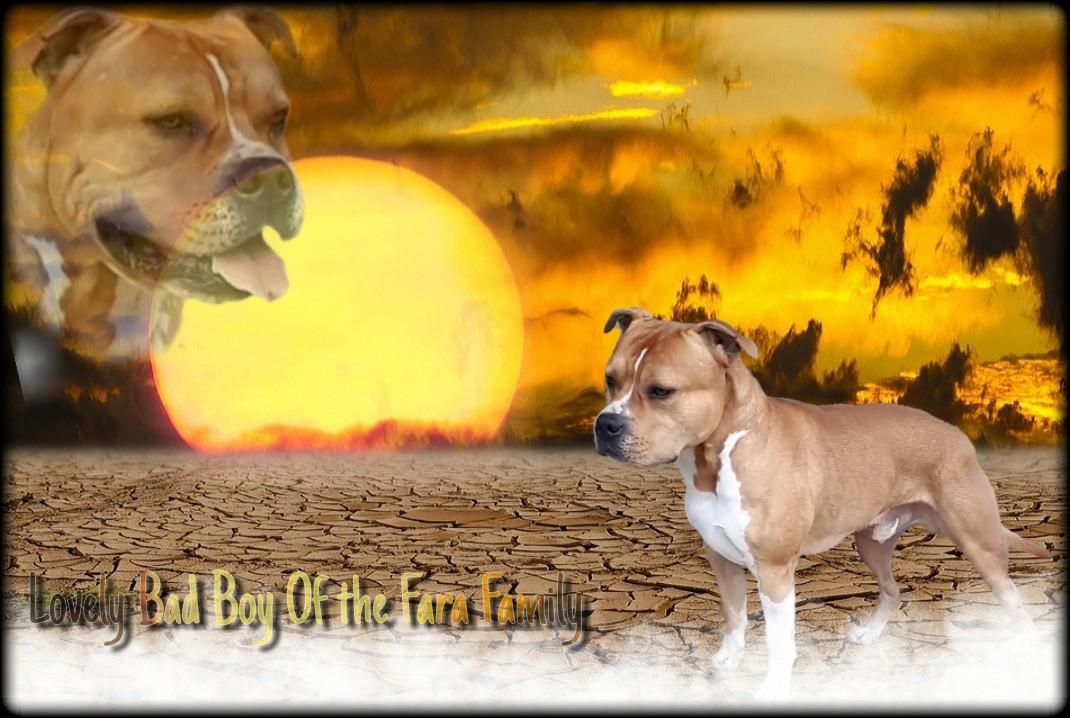American Staffordshire Terrier - Lovely bad boy Of The Fara Family