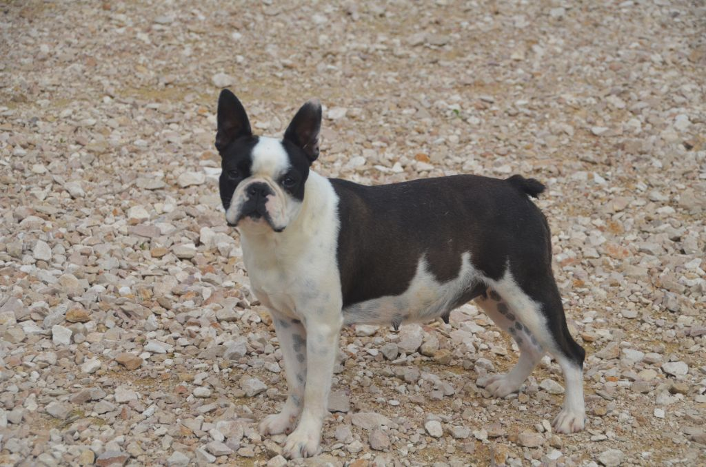 Les Boston Terrier de l'affixe Sweeties Doggies