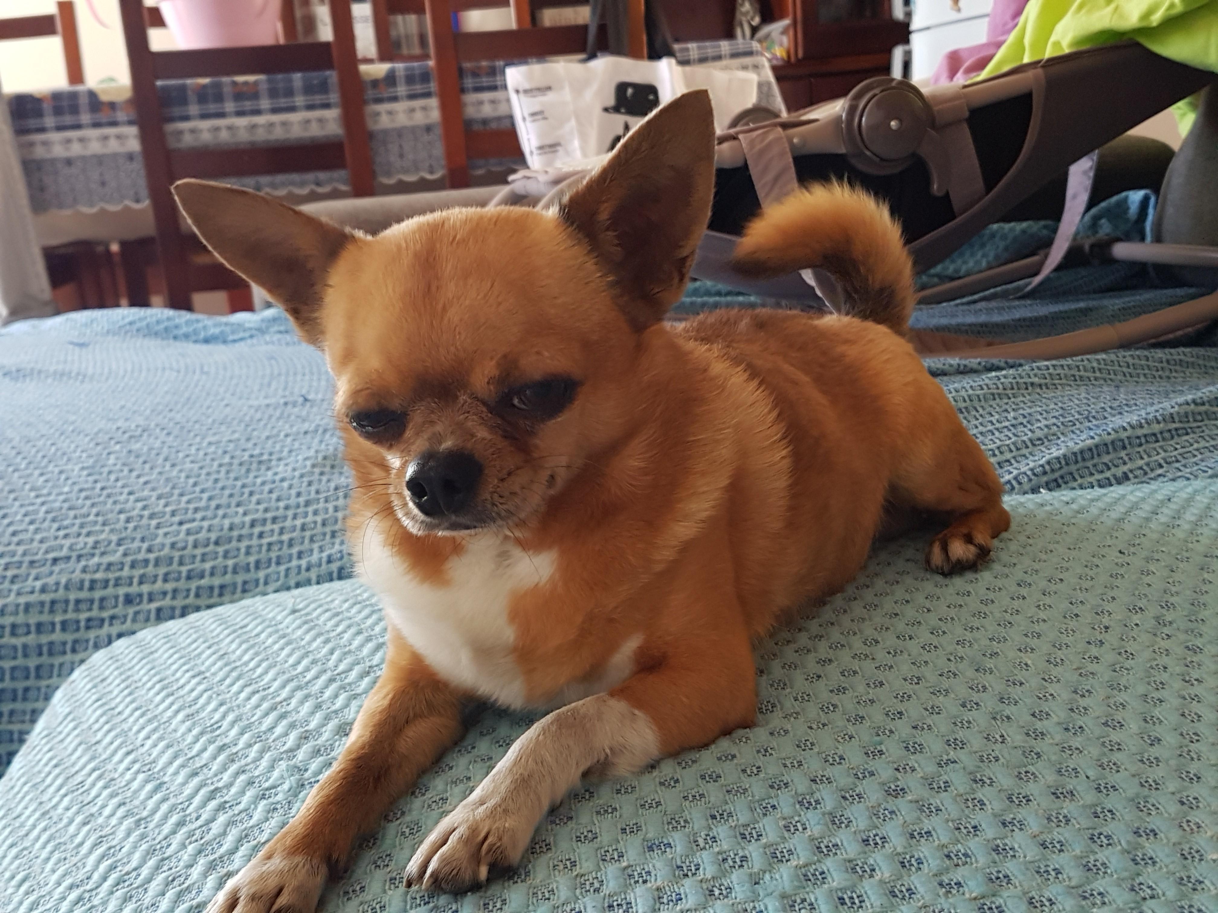 Chihuahua - Gandin el sirocco du clos des vainqueurs