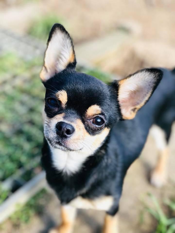 Chihuahua - Néo des gardiens de Romana