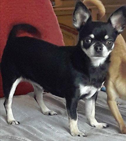 Les Chihuahua de l'affixe Des Ecrins De Joy