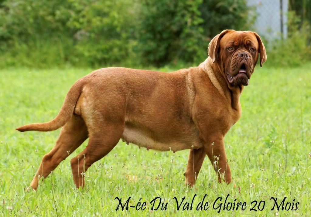Les Dogue de Bordeaux de l'affixe du val de gloire