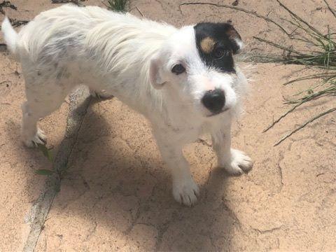 Jack Russell Terrier - Noumea des Elus du Deffend