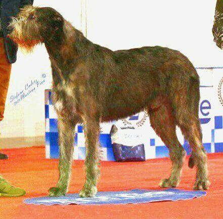Le Standard de la race Levrier irlandais sur Atara.com