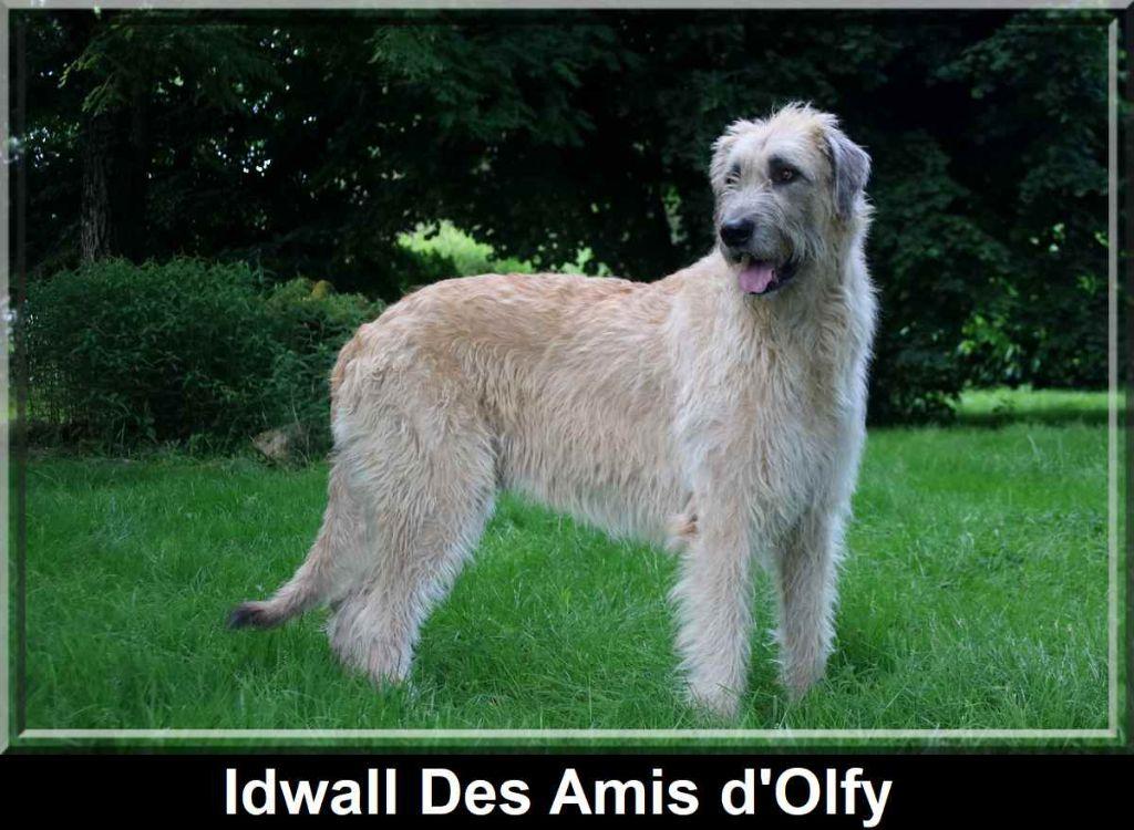 Levrier irlandais - Idwall des Amis d'Olfy