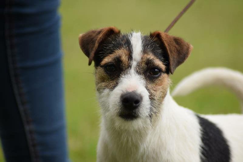 Parson Russell Terrier - Nemesia Nunca Sem Quereis