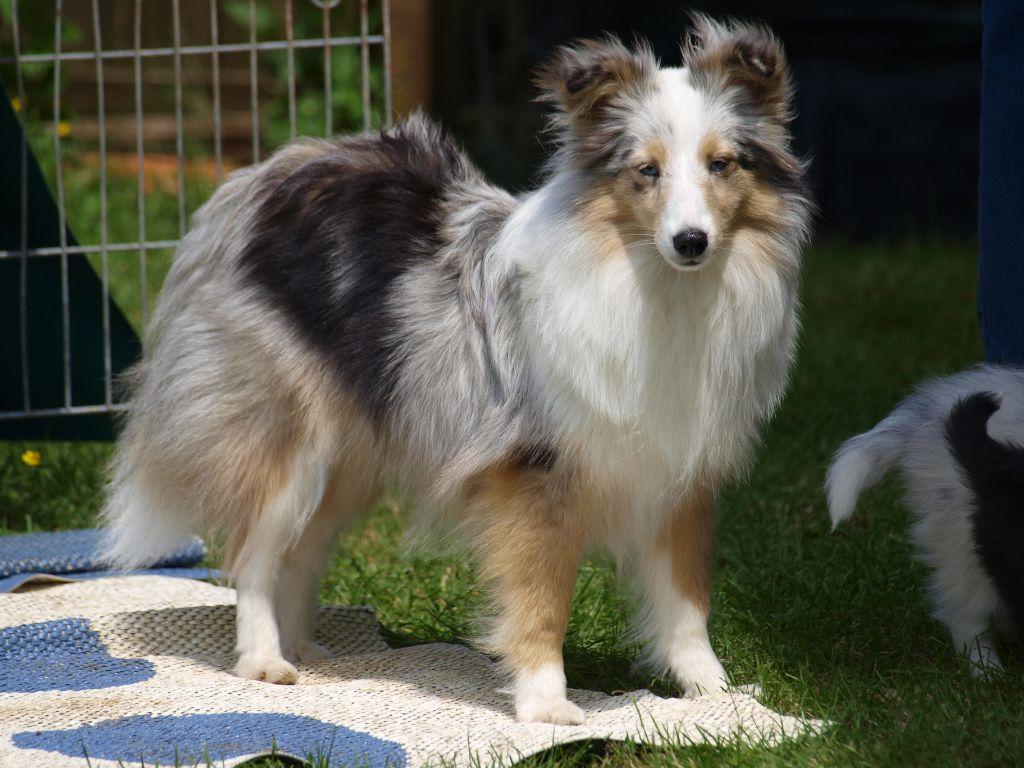 Shetland Sheepdog - Nighinn bluish du Domaine du Carpé