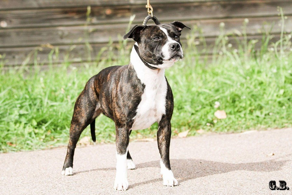CH. Izzy d'or (Sans Affixe) Staffordshire Bull Terrier