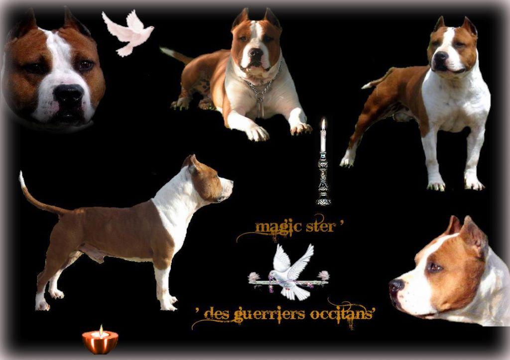 Les American Staffordshire Terrier de l'affixe des Guerriers Occitans