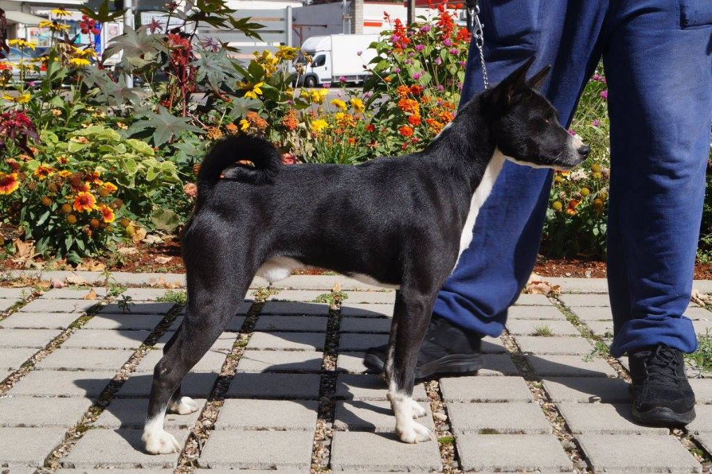 Basenji - Milord, l'intuition des fringants complices