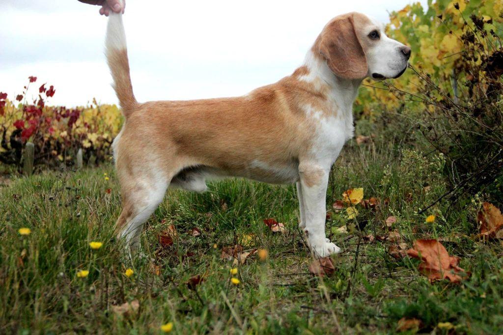 Beagle - Harley du Museau D'Or