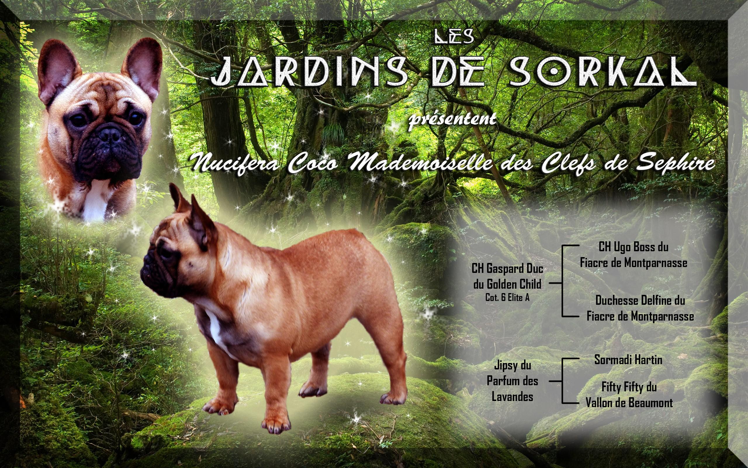 Les Bouledogue français de l'affixe Des Jardins De Sorkal