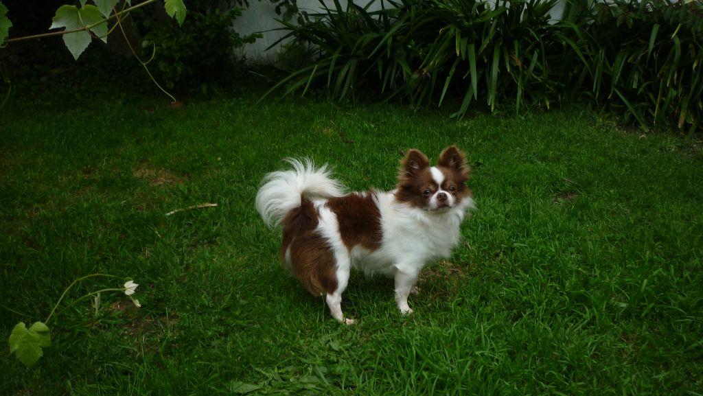 Les Chihuahua de l'affixe Des Trois Petits Oursons