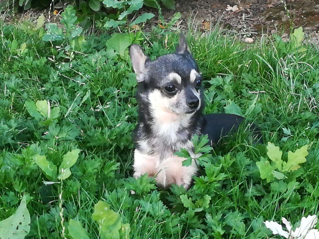 Les Chihuahua de l'affixe of Atomic Dog