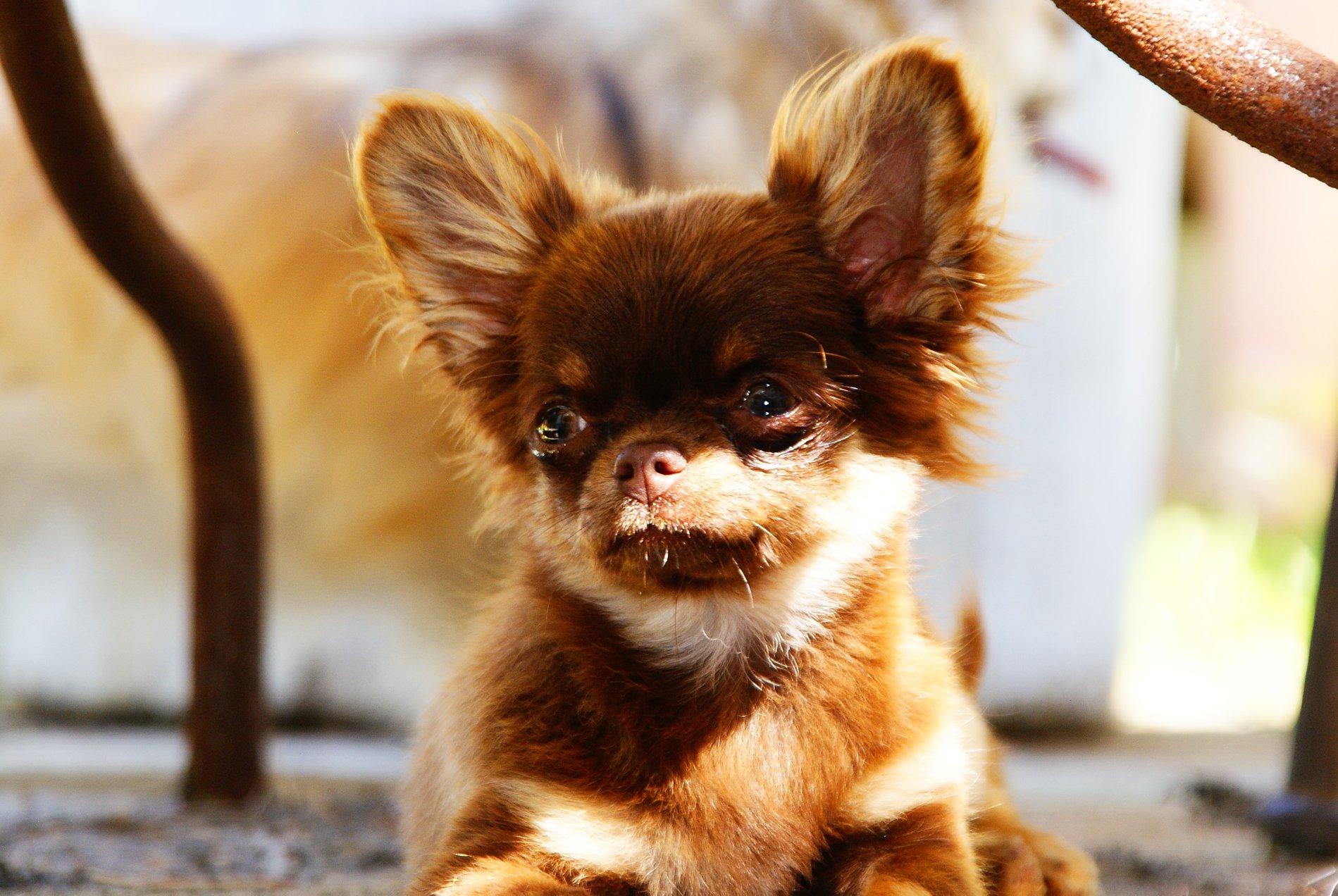 Oona d'Acca Larentia Chihuahua