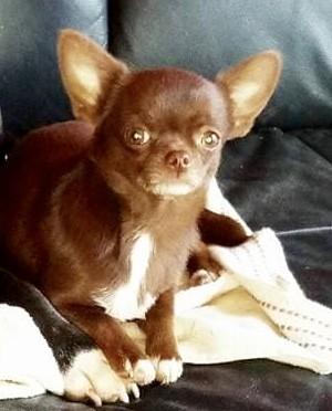 Chihuahua - simpatic life Karina dit lindt