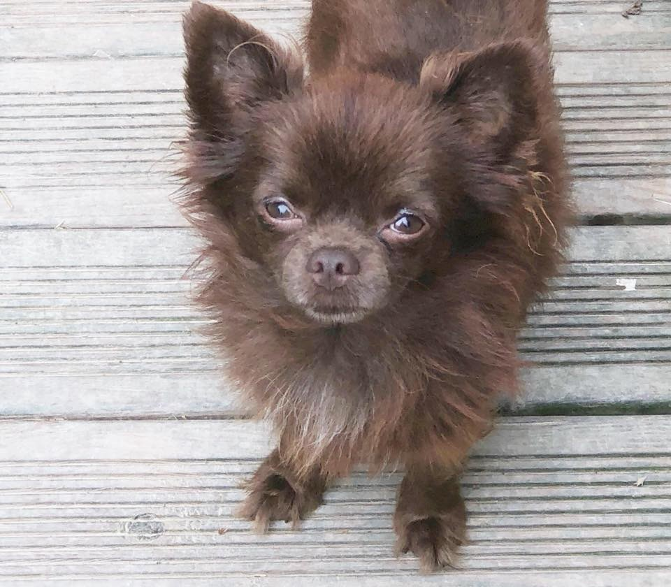 Chihuahua - Mistral gagnant De L'Eden Des Petits Precieux