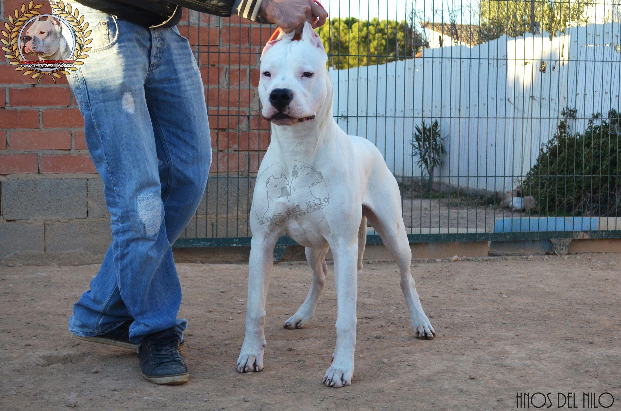 Dogo Argentino - CH. Chamae Hnos Del Nilo
