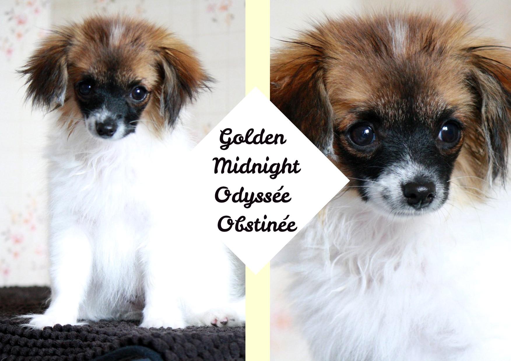Golden Midnight Odyssée obstinée