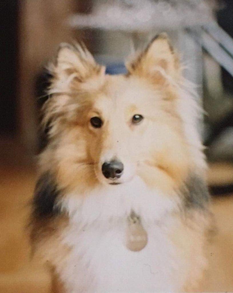 Shetland Sheepdog - Quallista Of Sweet Woodruff
