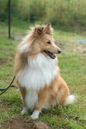 Shetland Sheepdog - Qashmere Of Sweet Woodruff