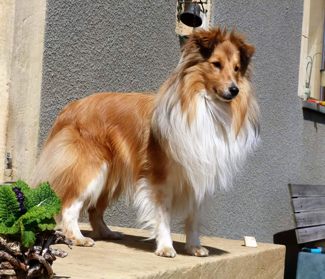 Shetland Sheepdog - Perfect sun Of Sweet Woodruff