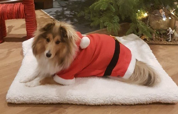 Shetland Sheepdog - Prince charming Of Sweet Woodruff