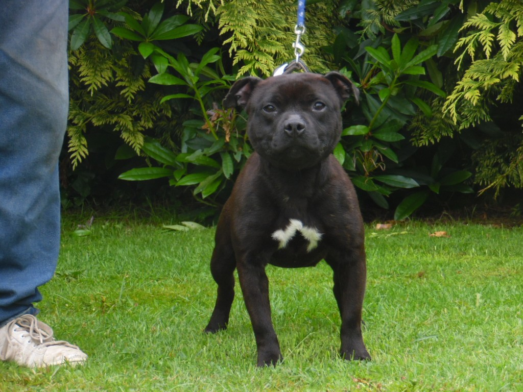 Maddy  lollipop du temple des celtics warriors Staffordshire Bull Terrier